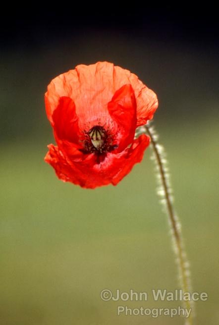 Single fragile poppy