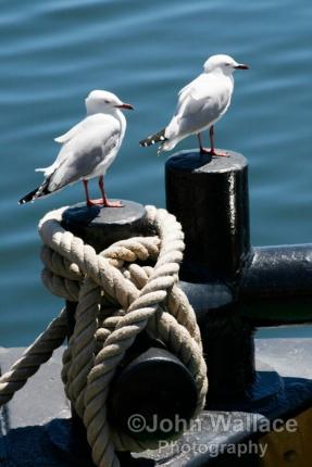 Seagulls on a bollard