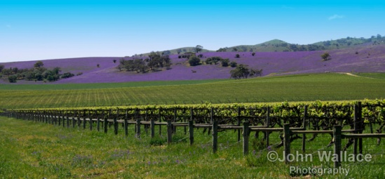 Vines in the Barossa