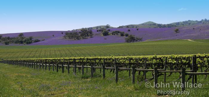Vines in the Barossa