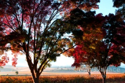 Autumn leaves in the Barossa