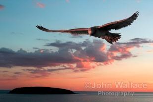 Evening Albatross