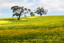 The yellow landscape of a canola crop in South Australia