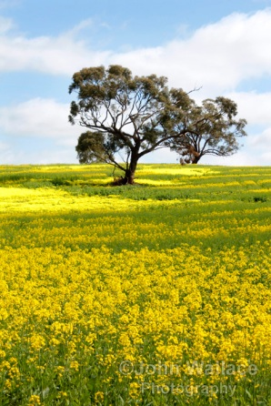 Canola crop , South Australia
