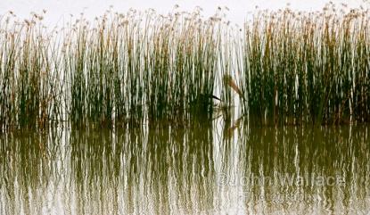 Pelican Crossing