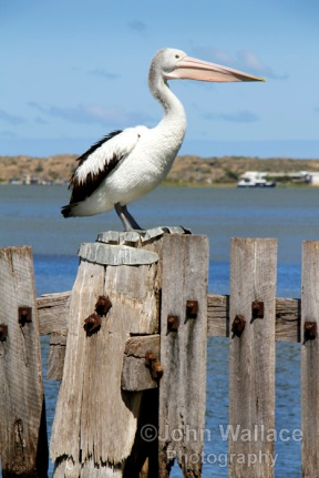 Pelican Viewpoint