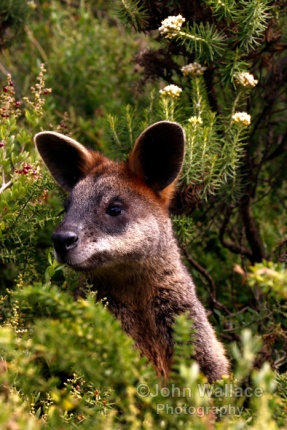 A kangaroo pops up from hiding in the bushes