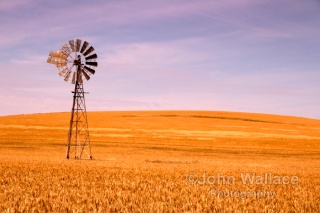 A wind driven water pump stands alone among ripening cereal in South Australia