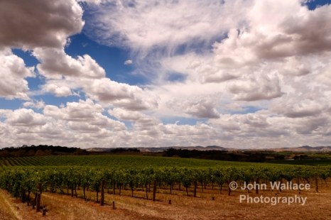 New growth on the vines during springtime in the Barossa valley South Australia