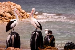 Pelicans on Kangaroo Island, South Australia