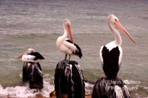 Pelicans on Kangaroo Island, South Australia
