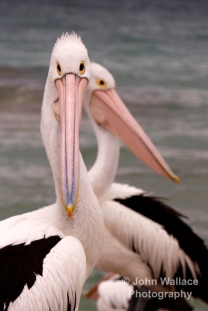 closeup of Pelicans on Kangaroo Island, South Australia