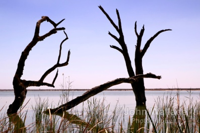 Dead trees in lake Bonney at Barmera South Australia