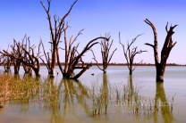 Dead trees in lake Bonney at Barmera South Australia