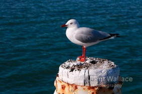 A seagull on lookout