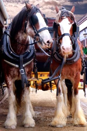 Shire horses at work