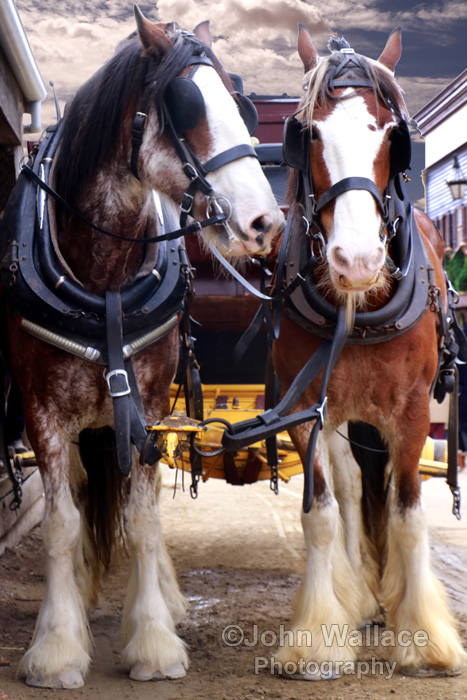 Shire horses at work