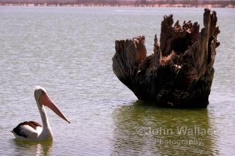 Pelican on the lake Bonney at Barmera South Australia
