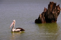 Pelican on the lake Bonney at Barmera South Australia